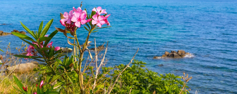 Fleurs roses d'oléandre et la mer bleue photographie stock libre de droits