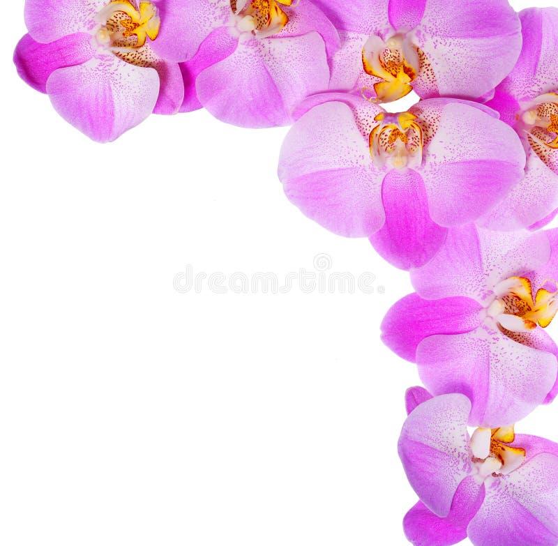 Fleurs roses d'orchidée d'isolement sur le fond blanc. Beau photo stock