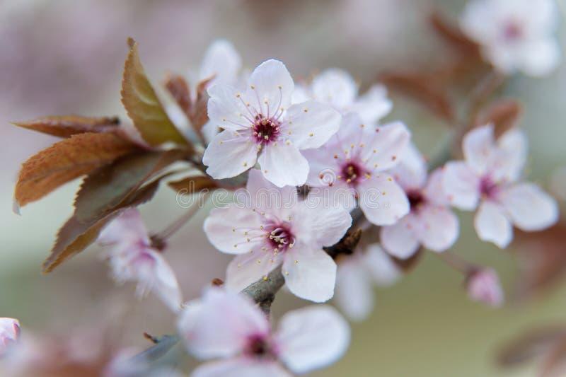 Fleurs roses d'un arbre en fleurs Photographie de la macro de printemps Fleur de cerisiers photo libre de droits