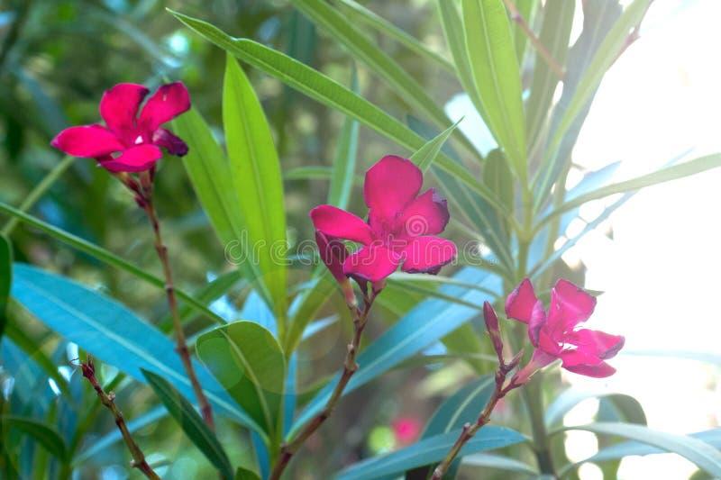 Fleurs roses d'un oléandre avec des feuilles pendant l'été photos stock