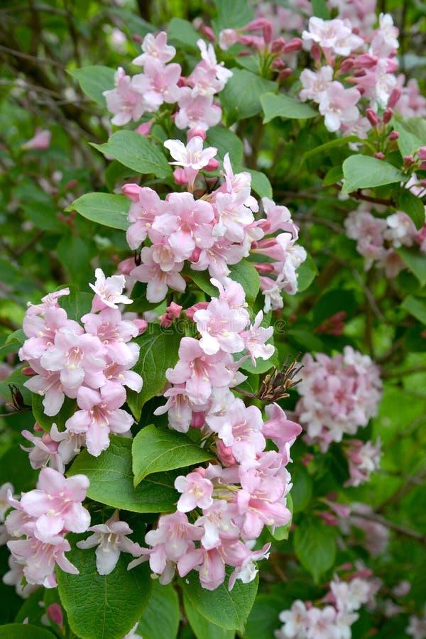 Fleurs roses d'un Weigela Thunb de jardin de veygela photo libre de droits