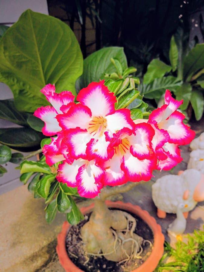 Fleurs roses dans des pots de fleurs sur un fond d'un jardin image libre de droits