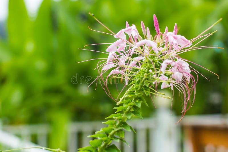 Download Fleurs Roses Dans Le Jardin Photo stock - Image du jardin, zone: 45367694