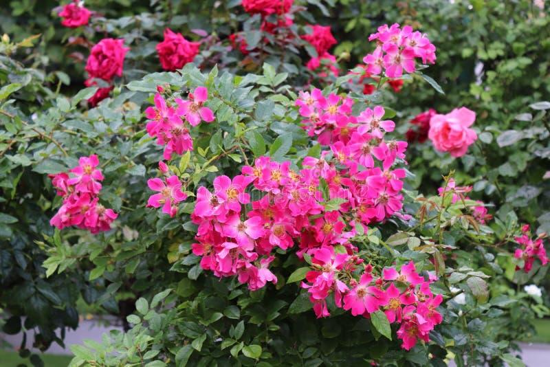Fleurs roses dans le jardin de Vienne photos libres de droits