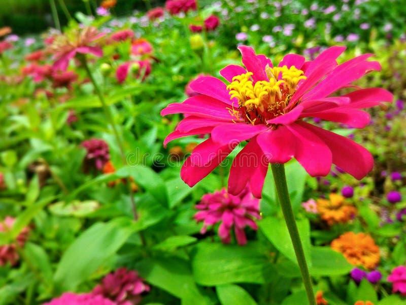 Fleurs roses dans le jardin latéral image libre de droits