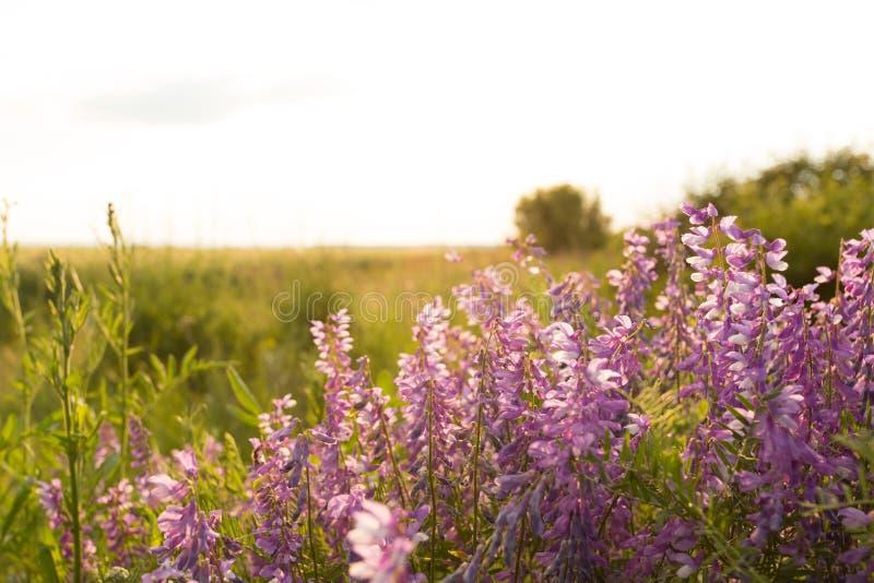 Fleurs roses dans le pré photographie stock libre de droits