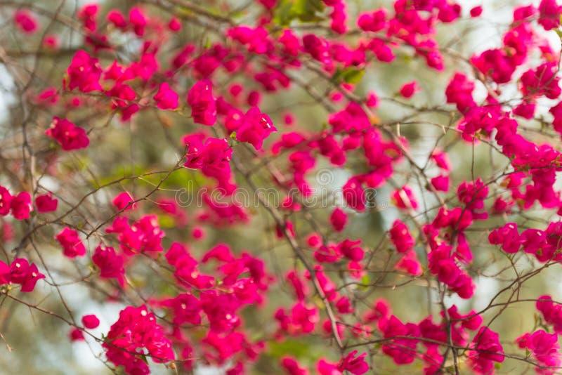 Fleurs roses de bouganvillée photo stock