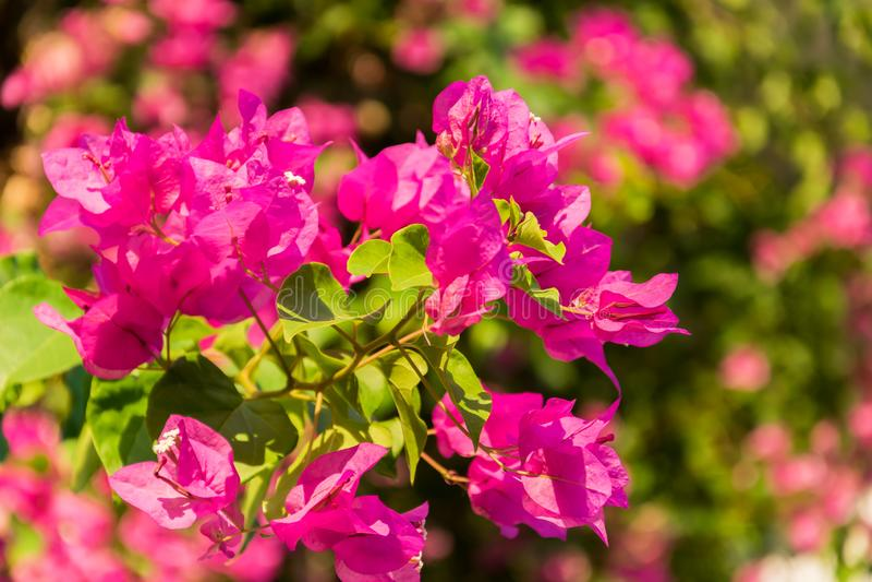 Fleurs roses de bouganvillée fleurissant dans les jardins photos stock