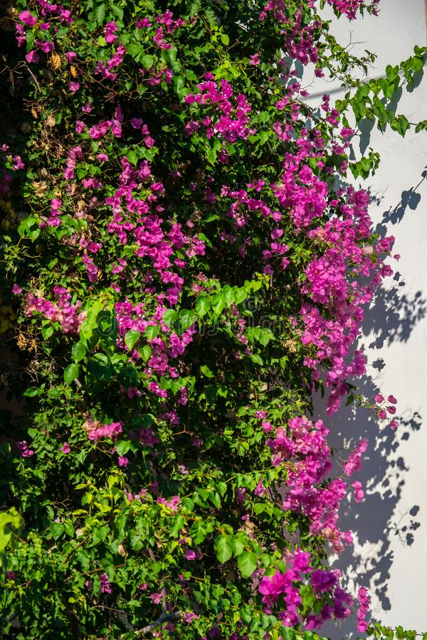 Fleurs roses de bouganvillée sur le mur photo stock