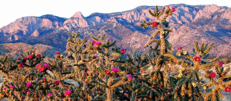 Fleurs roses de cactus aux montagnes bleues roses pourpres de Sandia photographie stock libre de droits
