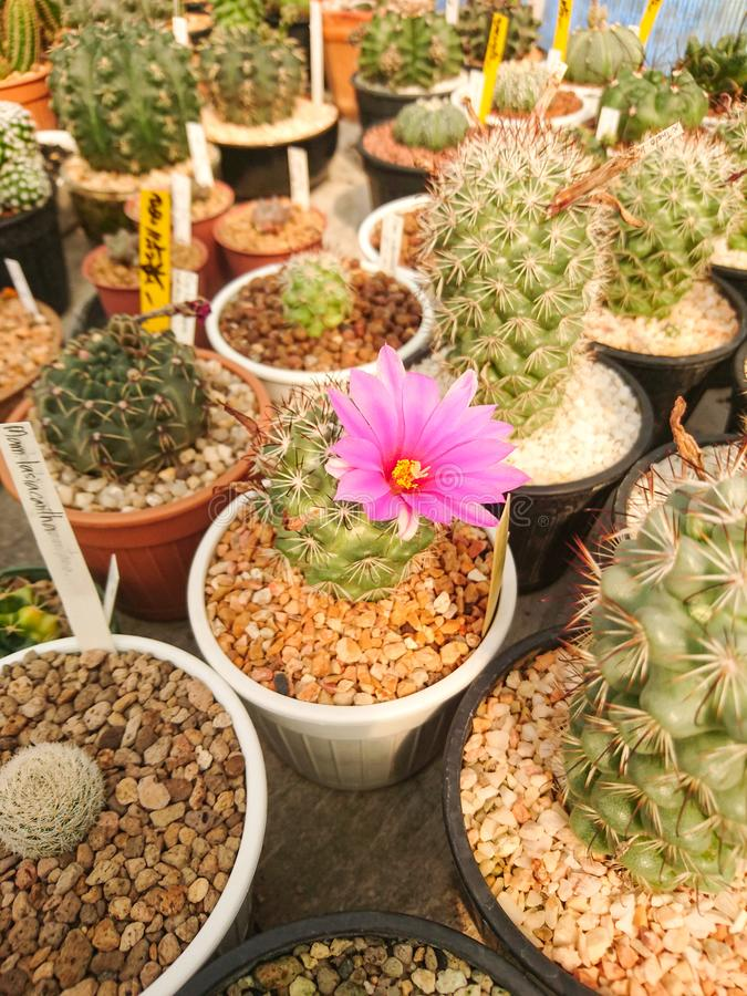 Fleurs roses de cactus de schumannii de Mammillaria dans le pot photographie stock