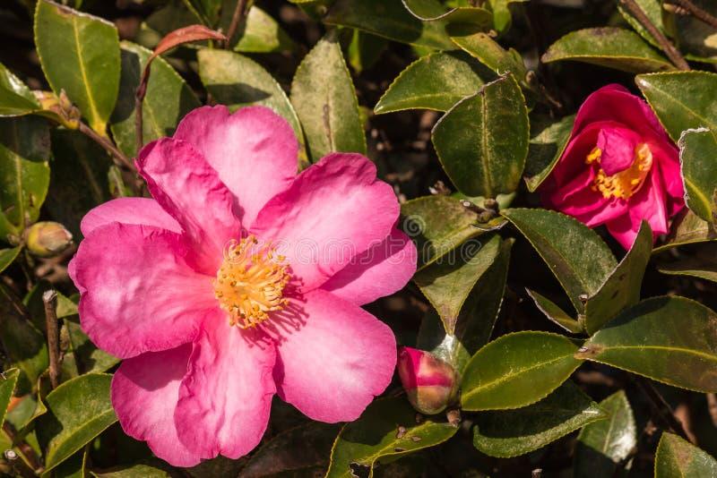 Fleurs roses de camélia photo libre de droits