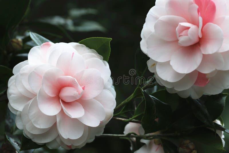 Fleurs roses de camélia fleurissant dans le jardin photos stock
