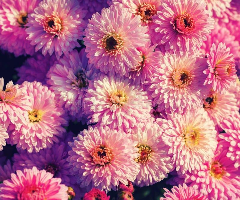Fleurs roses de chrysanthemum photo libre de droits