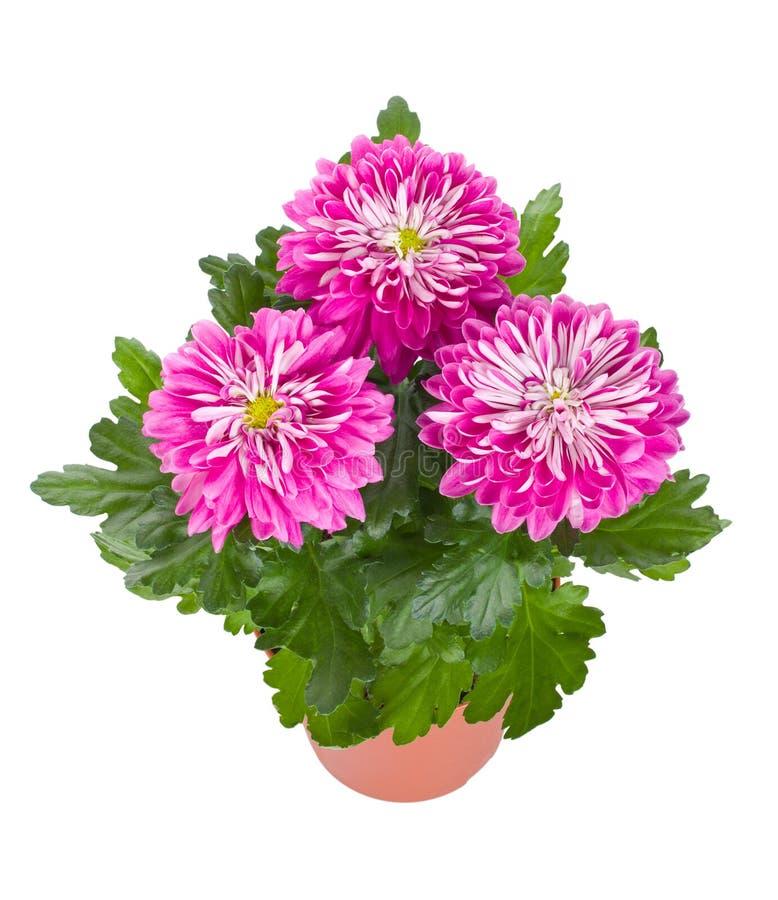 Fleurs roses de chrysanthemum dans le bac photographie stock