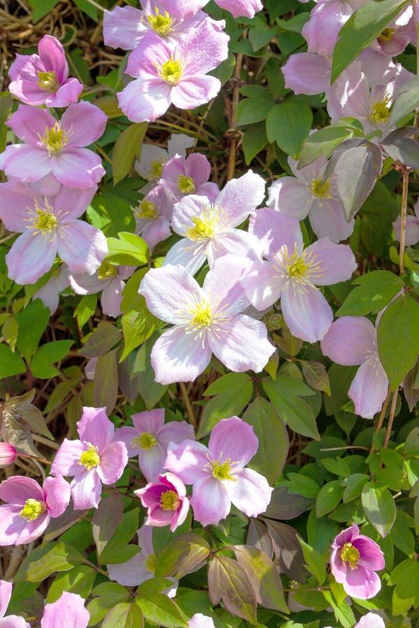 Fleurs roses de clématite photo stock