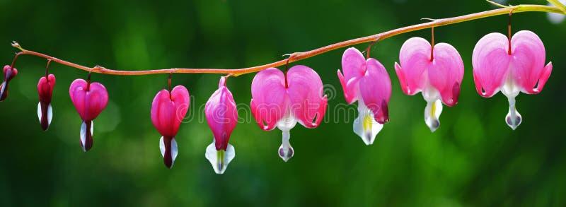 Fleurs roses de coeur photo stock