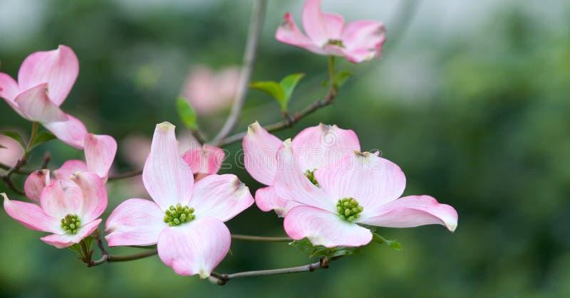 Fleurs roses de cornouiller photographie stock libre de droits