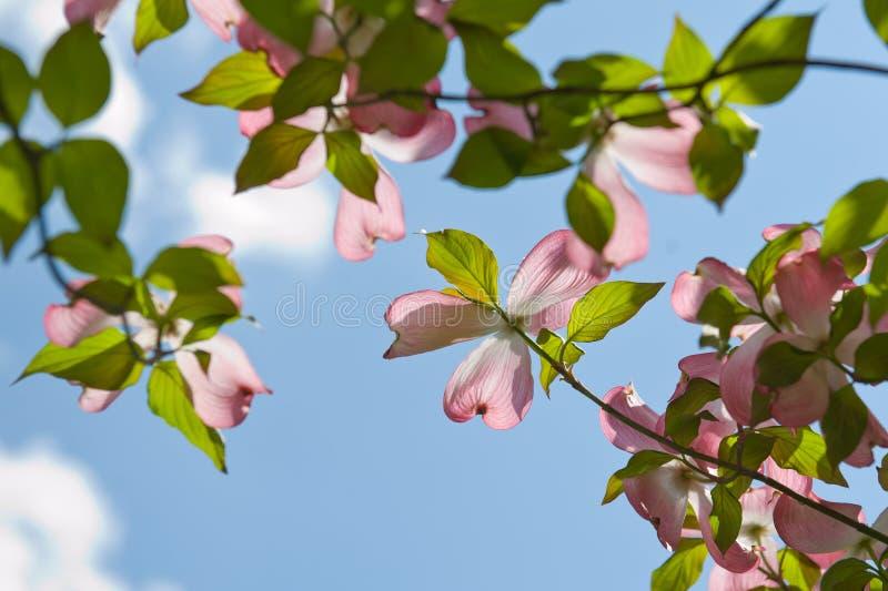 Fleurs roses de cornouiller image libre de droits