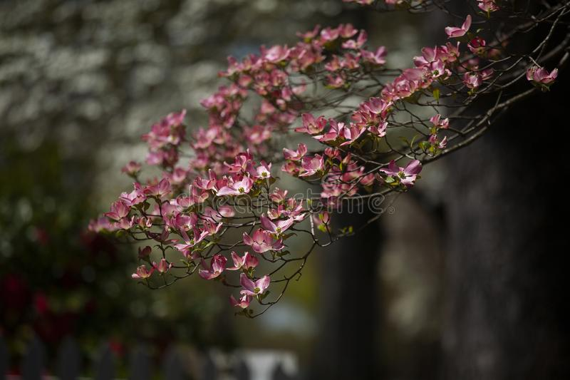 Fleurs roses de cornouiller pendant le ressort à la lumière du soleil directe images libres de droits