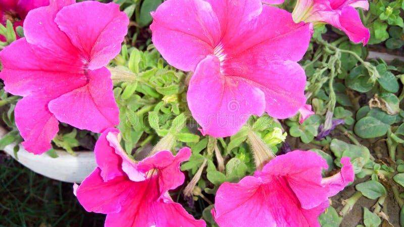 Fleurs roses de couleur photo stock