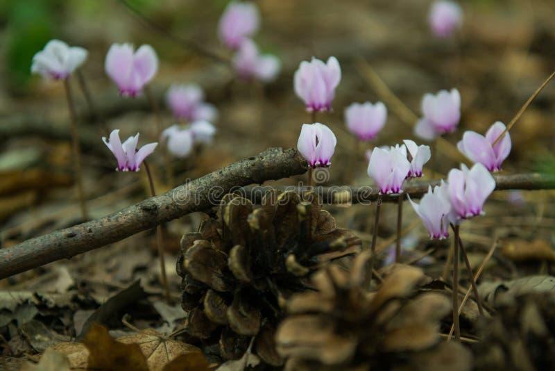 Fleurs roses de cyclamen magique de Beuatiful photo stock