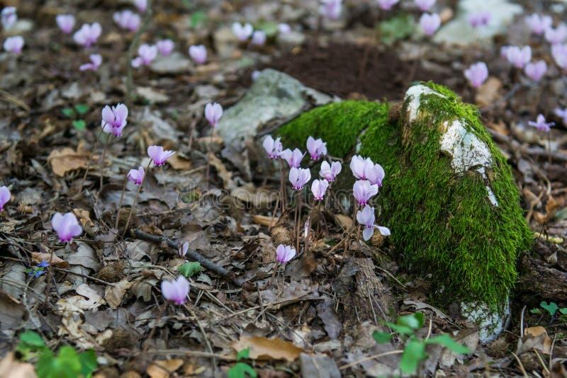 Fleurs roses de cyclamen magique de Beuatiful photographie stock