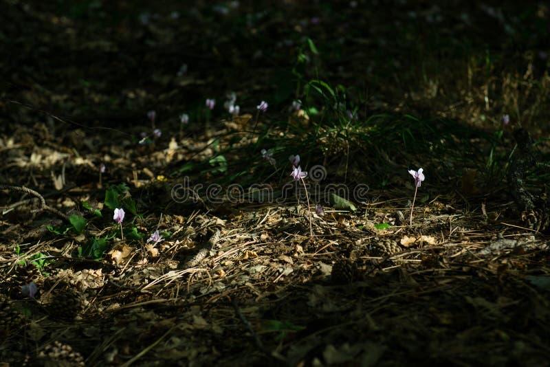 Fleurs roses de cyclamen magique de Beuatiful photos stock