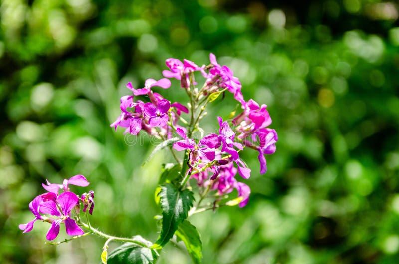 Fleurs roses de floraison sensibles d'été photos libres de droits