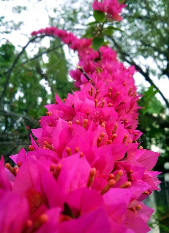 Fleurs roses de floraison sur le ciel image stock