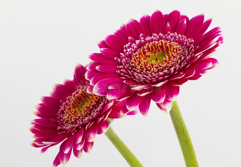 Download Fleurs Roses De Gerbera Islolated Sur Le Fond Blanc Image stock - Image du cartes, simplicité: 56488001