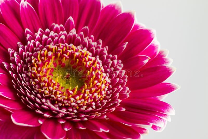 Download Fleurs Roses De Gerbera Islolated Sur Le Fond Blanc Photo stock - Image du macro, simple: 56489564