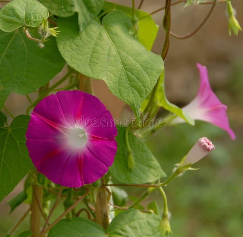 Fleurs roses de gloire de matin photos stock
