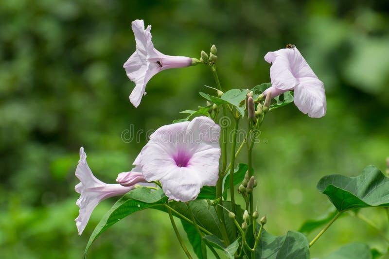 Fleurs roses de gloire de matin images libres de droits