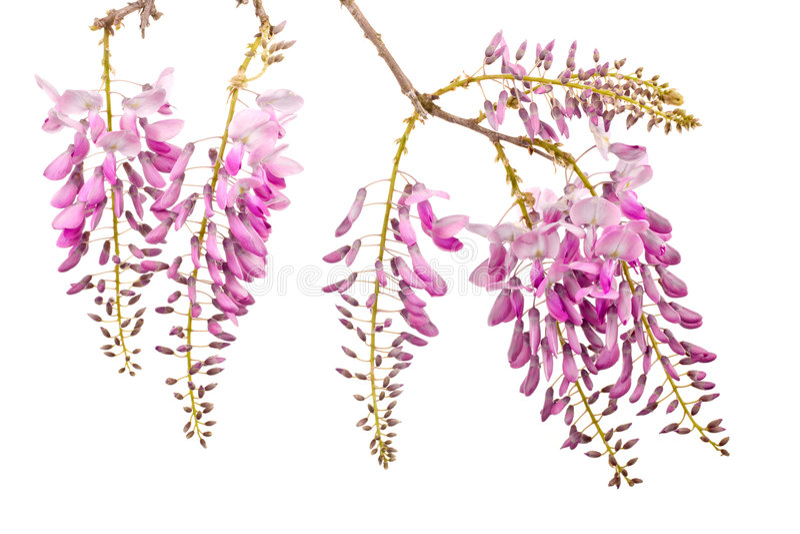 Fleurs roses de glycines image stock