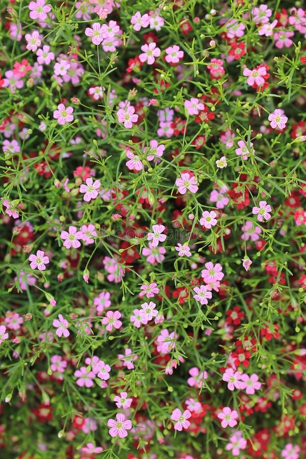 Fleurs roses de Gypsophila images libres de droits