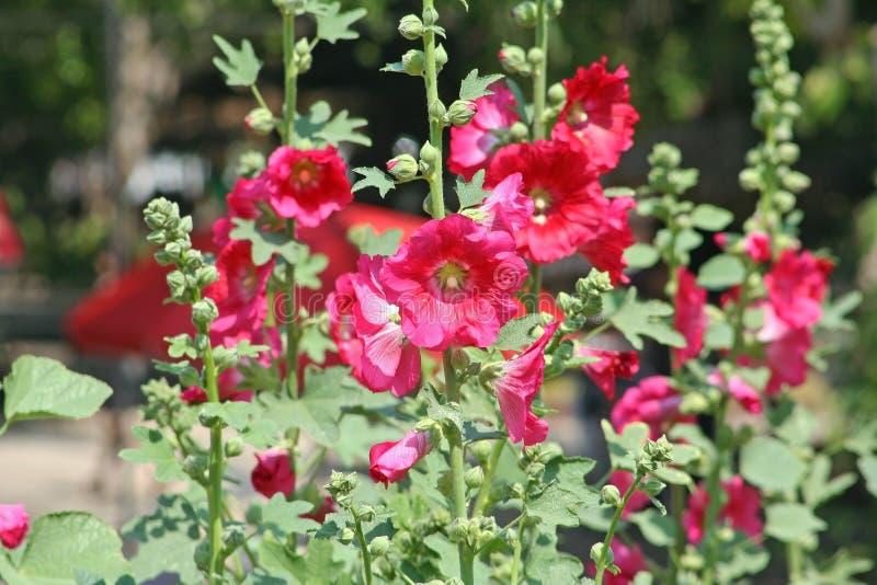 Fleurs roses de hollyhock photos stock