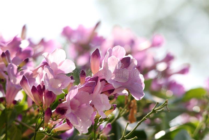 Fleurs roses de klaxon image libre de droits