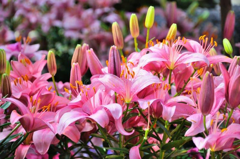 Fleurs roses de lis en plan rapproché à Francfort sur Main, Hesse, Allemagne photographie stock