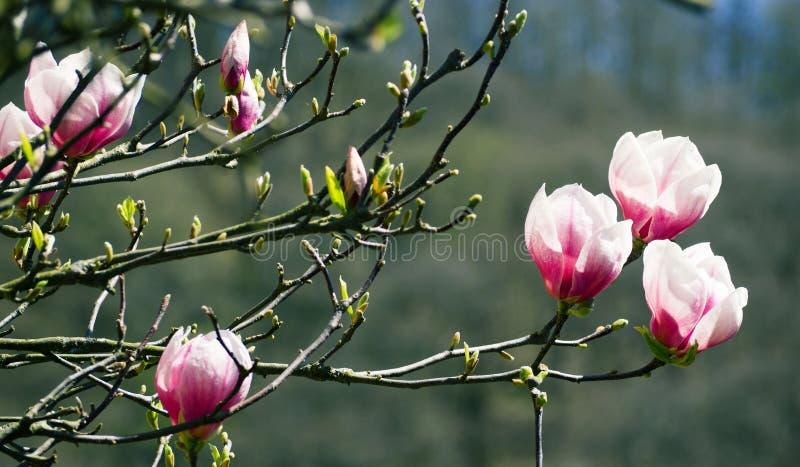 Fleurs roses de magnolia sur l'arbre de floraison photo libre de droits