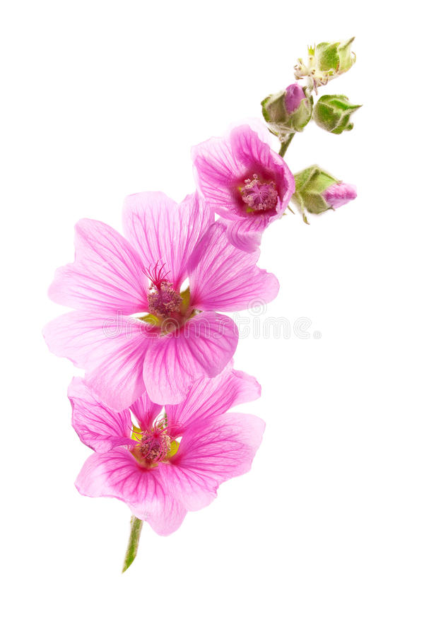 Fleurs roses de malva photographie stock