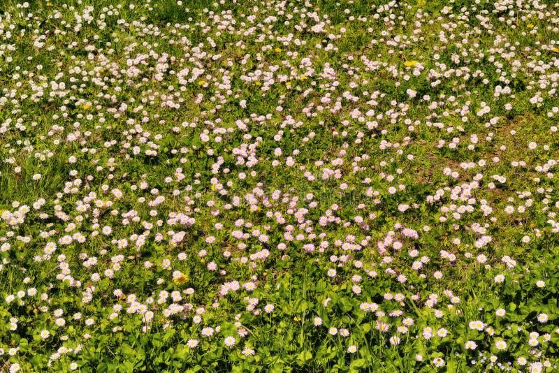 Fleurs roses de marguerite des prés photo libre de droits