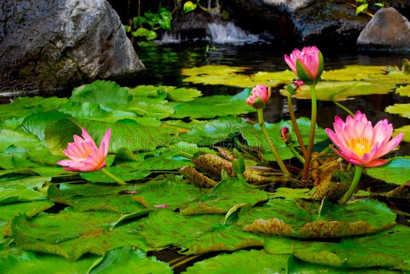 Fleurs roses de nénuphar images libres de droits