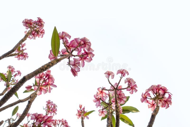 Fleurs roses de plumeria et modèle d'arbre d'isolement sur le backgro blanc photo stock