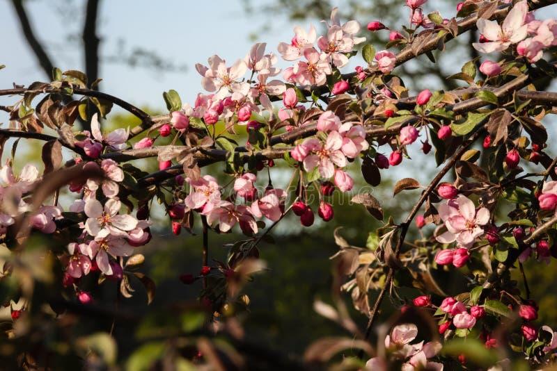 fleurs roses de pomme dans la grande proximité au fond vert de jardin photos stock