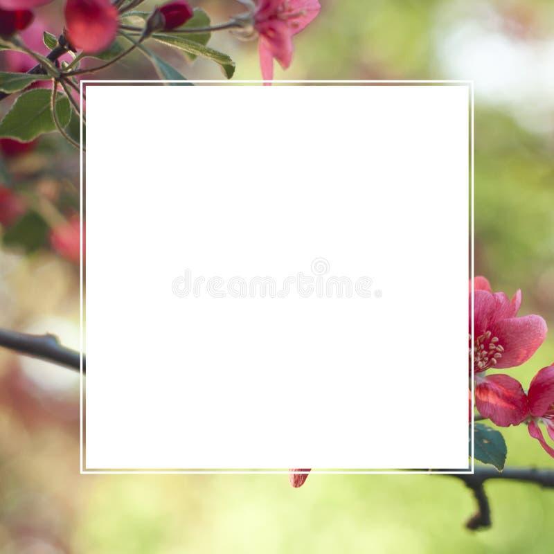 Fleurs roses de ressort avec le cadre carré pour le texte Calibre pour l'inv photographie stock