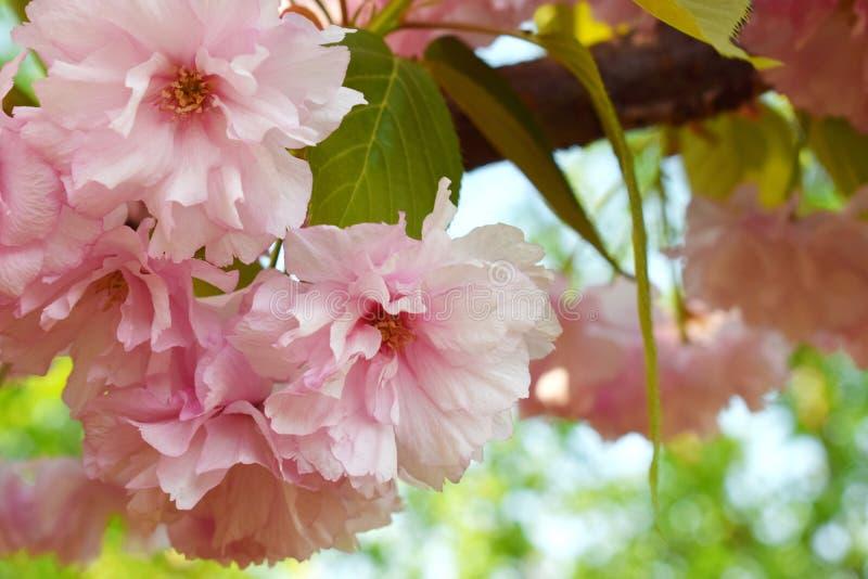 Fleurs roses de sakura Anniversaire, Mother&#x27 ; jour de s, Valentine&#x27 ; jour de s, le 8 mars, carte de mariage images stock