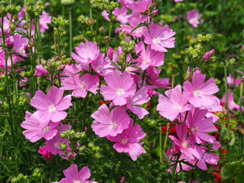 Fleurs roses de Sidalcea de mauve de prairie photos stock