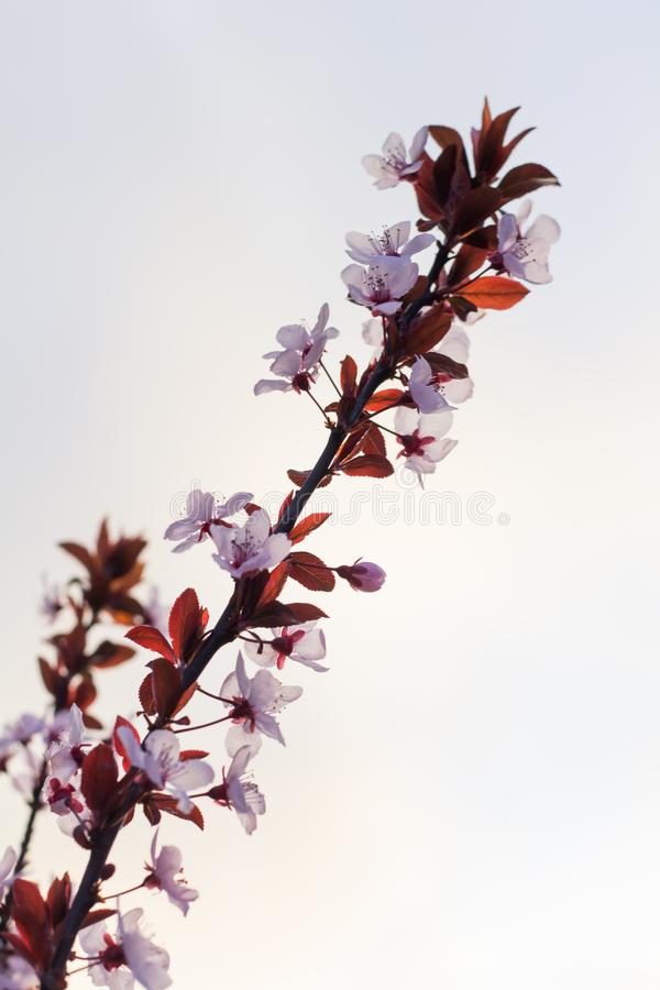 Fleurs roses de source photo stock