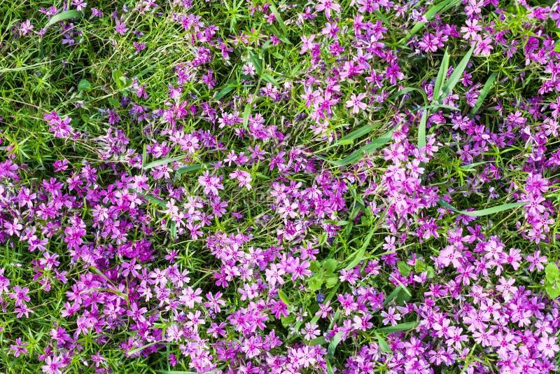 fleurs roses de subulata de phlox sur la pelouse verte photos stock